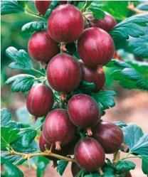 Ribes uva – crispa Captivata