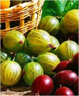 Ribes uva-crispa Hinomaki Grun