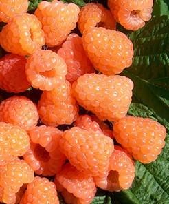 Rubus idaeus Valentina