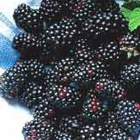 Rubus fruticosus Dirksen
