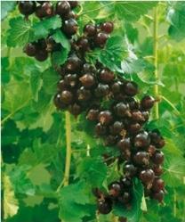 Ribes Josta